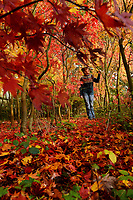 BNPS.co.uk (01202 558833)<br /> Pic: ZacharyCulpin/BNPS<br /> <br /> The recent cold weather has brought out the autumn colours of the Japanese maple trees at Barthelemy & Co nursery near Wimborne in Dorset.<br /> <br /> Pictured: Owner Wendy Skinner analyses the leaves of some of the 150 varieties at the Dorset nursery. Barthelemy & Co was established in 1920 by Frenchman  Jean Barthelemy who survived the First World War whilst serving as a soldier in the French army and he crossed the channel to start his own nursery.