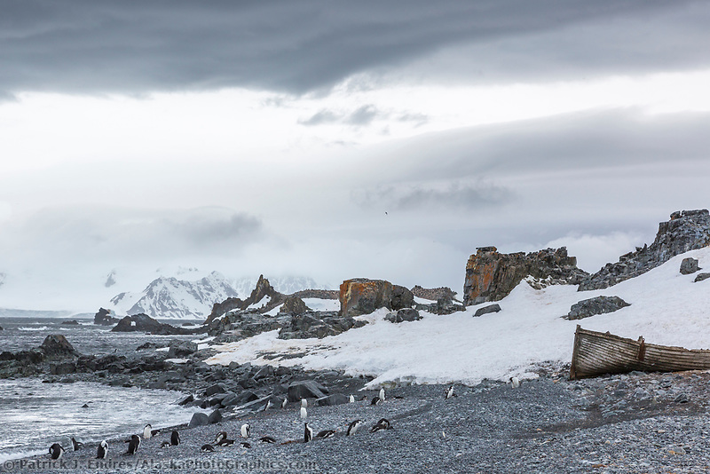 Chinstrap penguins on the shore of the South Shetland Islands, Antarctica