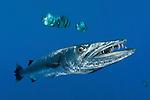 Great barracuda (Sphyraena barracuda) with Teira batfish (Platax teira)
