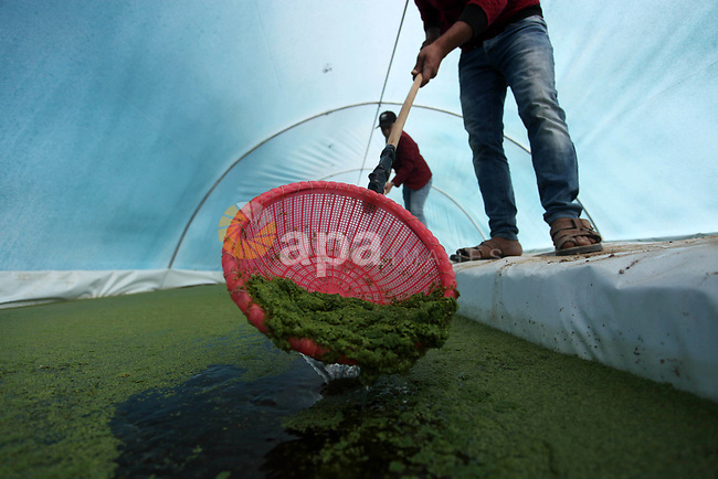 Palestinian farmers scoop a handful of Azolla aquatic ferns grown in a greenhouse at a farm, in Jabalia in the nothern Gaza Strip, on November 27, 2019. Palestinian farmers are cultivating the Azolla plant due to soaring prices of animal feed in the Gaza Strip, caused by Israeli restrictions on imports and lack of income. The plant has enormous potential as a livestock feed due to its high vitamin, protein, and amino acid content, in addition to its ability to grow without requiring inorganic nitrogen fertilisation. Photo by Mahmoud Ajjour