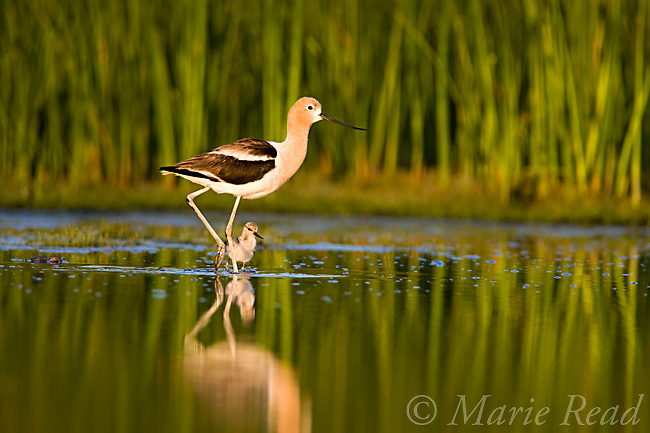 American Avocet (Recurvirostra americana), adult with chick, Orange County, California, USA