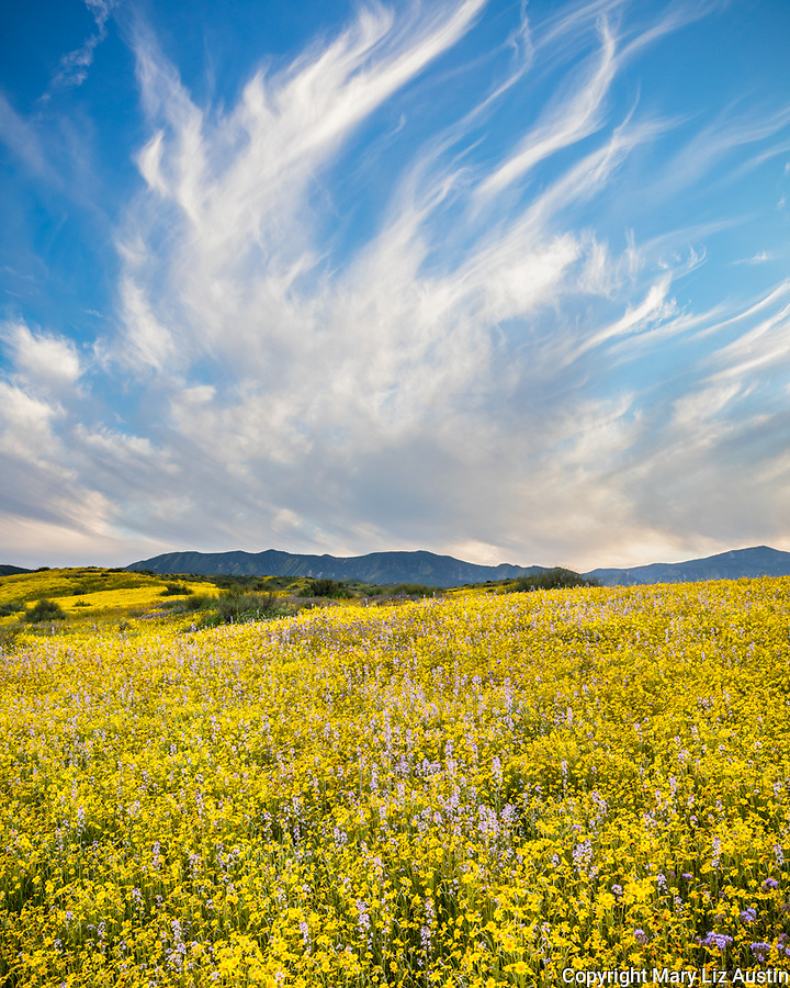 Carrizo Plain National Monument, CA: Field of spring wildflowers with high clouds over the Caliente Range.