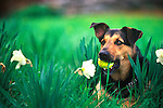 Cosmo with ball and daffodils