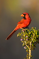 511650096 a wild male northern cardinal cardinalis cardinalis on santa clara ranch hidalgo county rio grande valley texas united states