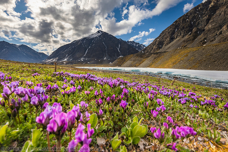 Mountain landscape of purple oxytrope blossoms on the tundra and Itkillik River in the Gates of the Arctic National Park, Alaska.