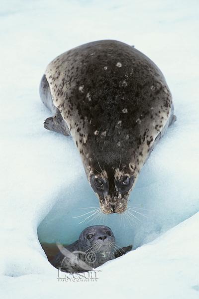 Harbor seal (Phoca vitulina) female with pup on tidewater glacieral ice,