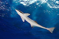 Sharksucker, Echeneis naucrates, West End, Grand Bahamas, Atlantic Ocean