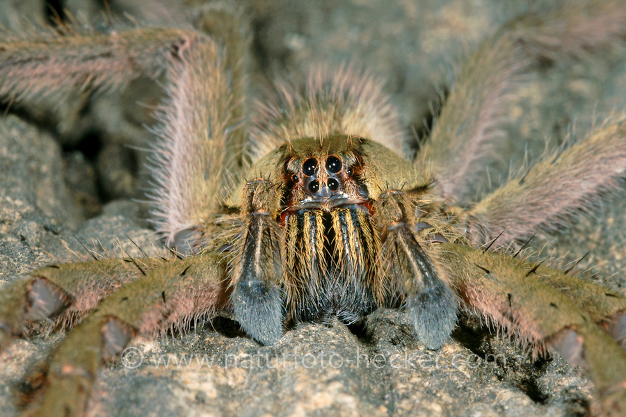 Große Wanderspinne, Wandernde Tigerspinne, Cupiennius salei, Phoneutria oculifera, Cupiennius ahrensi , tiger wandering spider, banana spider, Kammspinnen, Ctenidae