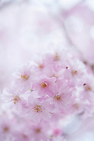 Pale pink cherry blossoms, delicate in the spring evening, Nagano, Japan.