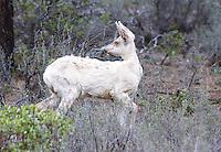 Deer - Mule - White