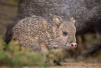 650520152 a baby javelina or collared peccary dicolytes tajacu on beto gutierrez ranch hidalgo county texas united states