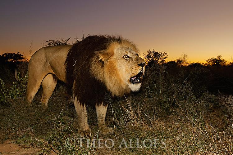 Botswana, Kalahari, private game reserve, male lion roaring at dusk, captive