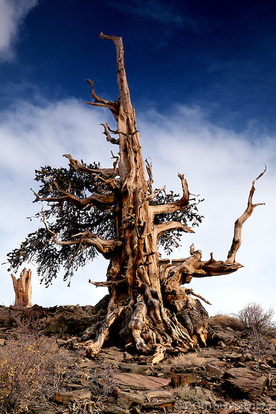 California Bristlecone pine and stump