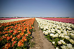 A field of flowers stretches into the distance near the Keukenhof in the Netherlands.