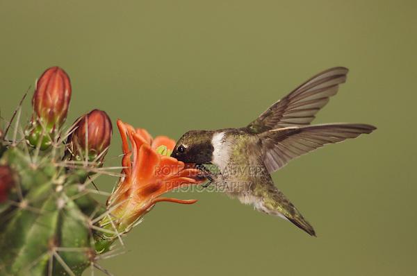 Black-chinned Hummingbird, Archilochus alexandri, male feeding on Claret Cup Cactus (Echinocereus triglochidiatus), Uvalde County, Hill Country, Texas, USA, April 2006