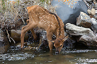 The a young elk (Cervus canadensis)calf learns to to drink from a stream.
