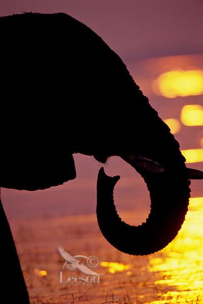 African elephant (Loxodonta africana) along shore of Lake Kariba, Matusadona National Park, Zimbabwe.  Sunset. (Looks like it is playing a musical instrument).