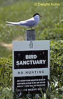 MC80-001z  Arctic Tern - on bird sanctuary sign - Machias Seal Island, Bay of Fundy - Sterna paradisaea