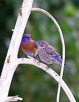 WESTERN BLUEBIRD MALE PERCHED WITH FLEDGLING
