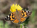 Painted Lady Butterfly, Vanessa cardui, Grove Ferry, Kent, UK, migratory species, nectaring on flowers,
