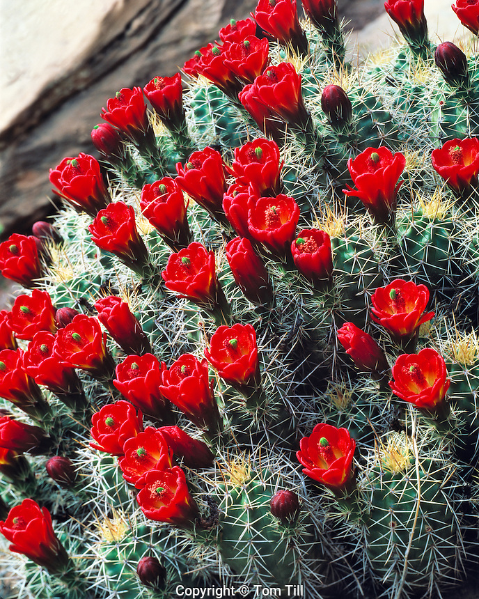 Claret Cup Cactus in Bloom .Arches National Park, near Moab, Utah