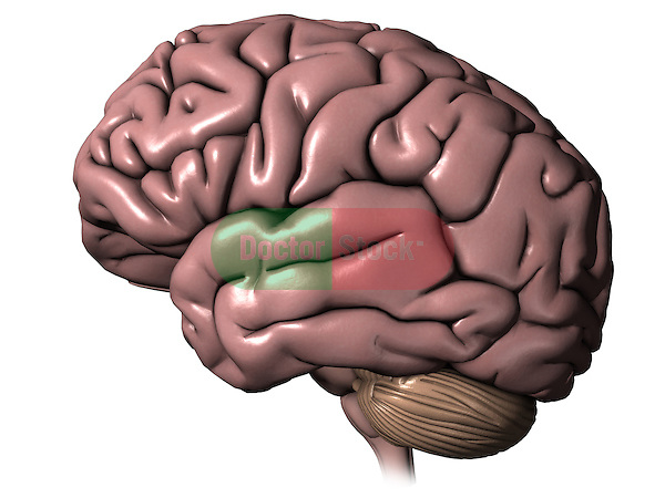 Brain; this 3d medical image features a detailed view of the brain.
