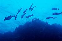 Egypt red sea tiran island woodhouse reff school of giant trevally