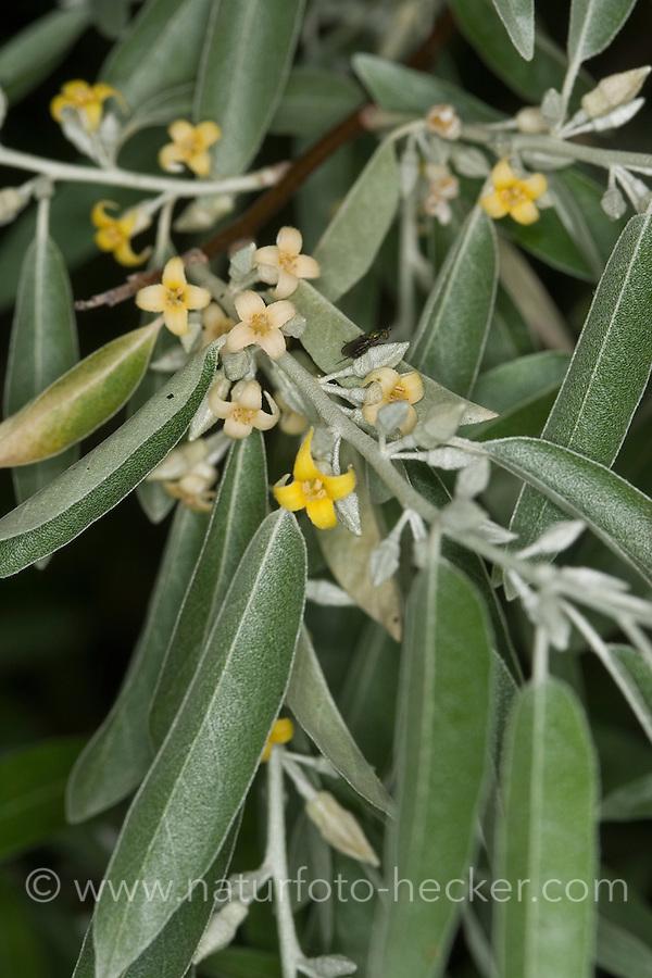 Schmalblättrige Ölweide, Öl-Weide, Elaeagnus angustifolia, Elaeagnus angustifolius, Oleaster, Russian Olive