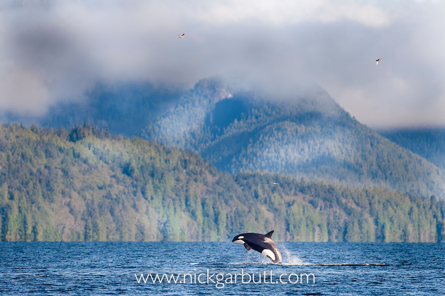 Orca or Killer Whale (Orcinus orca) leaping. Mathieson Channel, near Mussel Inlet, Great Bear Rainforest, British Columbia, Canada.