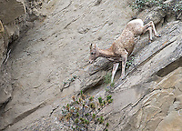 Bighorn sheep are adept at negotiating steep cliffs.
