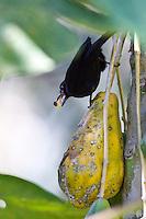 Nova Lima_MG, Brasil...Passaro no galho de uma arvore no condominio Passargada em Nova Lima, Minas Gerais...A bird on the branch tree in Passargada condominium in Nova Lima, Minas Gerais...Foto: JOAO MARCOS ROSA / NITRO