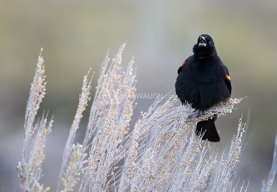 Red-winged blackbirds let everyone know where their territory is in spring.