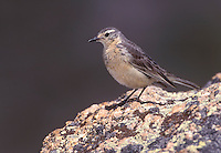 Buff-bellied Pipit - Anthus rubescens - Adult breeding