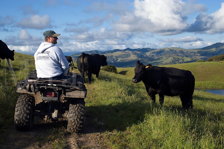 A rancher watches his angus beef cows from his all wheel drive all-terrain vehicle on a California ranch.