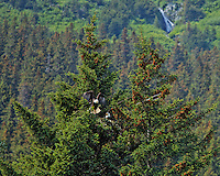 A bald eagle flies out of its' eagles nest leaving the mate to sit, near Seward, Alaska.