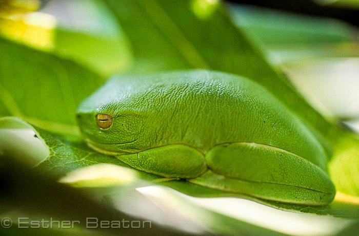 Green Tree Frog (Litoria caerulea) sleeping on leaf during day. Queensland, Australia