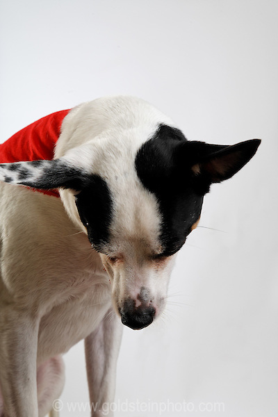 Small black and white dog with red bandana.