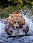 USA, Alaska, Katmai National Park, brown bear (Ursus arctos) leaping after salmon