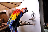 The Scarlet Macaw (Ara macao) aka Red and Yellow Macaw.