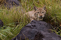 Siberian Lynx watching intently from behind a wet boulder - CA