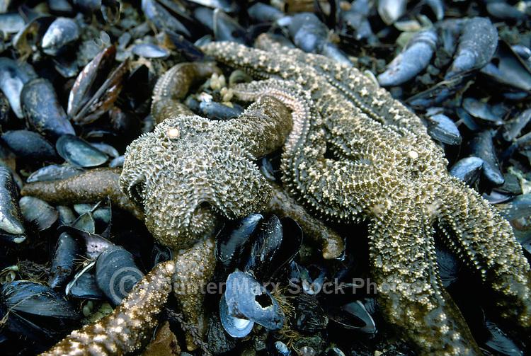 Starfish - Purple Sea Star aka Ochre Sea Star (Pisaster ochraceus) feeding on a Mussel Bed in Burnaby Narrows, Gwaii Haanas National Park Reserve and Haida Heritage Site, Haida Gwaii (Queen Charlotte Islands), Northern BC, British Columbia, Canada