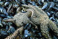 Starfish - Purple Sea Star aka Ochre Sea Star (Pisaster ochraceus) feeding on a Mussel Bed in Burnaby Narrows, Gwaii Haanas National Park Reserve and Haida Heritage Site, Haida Gwaii (Queen Charlotte Islands), Northern BC, British Columbia, Canada
