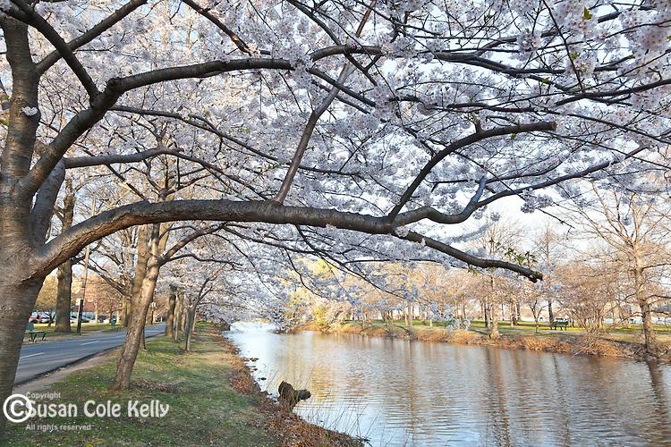 Cherry blossoms on the Charles River Esplanade, Boston, Massachusetts, USA