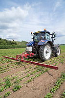 Weed wiping weeds in parsnips applying Glyphosate - Norfolk, July