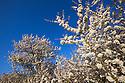 Blackthorn {Prunus spinosa} in flower in hedgerow. Peak District National Park, Derbyshire, UK. April