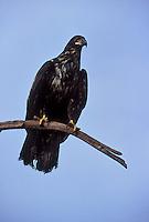 Bald Eagle - Haliaeetus leucocephalus - Juvenile