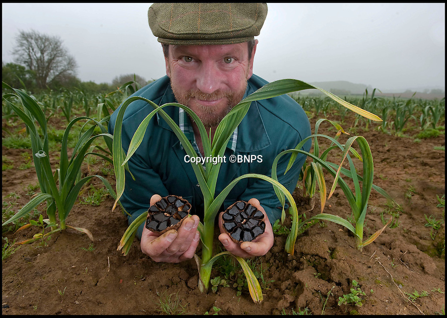 Bmth News &amp; Pictures 01202 558833<br /> Pic: PhilYeomans/BNPS<br /> <br /> Black gold...<br /> <br /> A British farmer has launched this year's must-have food product after stumbling across a 4,000-year-old Korean recipe on the internet.<br /> <br /> Mark Botwright wanted to find a way of preserving some of the 900,000 bulbs of garlic grown on his farm so they could be eaten all year round.<br /> <br /> The answer came when he chanced upon an ancient Korean recipe for 'black garlic', a way of preserving garlic bulbs using exposing them to heat and moisture for more than a month.<br /> <br /> Mark spent 18 months perfecting the recipe to transform regular garlic bulbs into sweety, sticky black garlic, said to have the texture of dried apricots and the taste of balsamic vinegar.<br /> <br /> He even built his own special heating room at his 13-acre farm in Bridport, Dorset, so that he could ramp up production to 2,500 bulbs every 40 days.<br /> <br /> The product has been such a hit he now supplies it to some of the best restaurants in the country including The Ritz and The Ivy.<br /> <br /> And it has been given the thumbs up by a host of top chefs including Nigella Lawson, Mark Hix and Yottam Ottelenghi.<br /> <br /> One bulb of black garlic costs 3.50 pounds and has a shelf life of over a year.