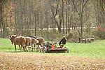 Route 477. Amishman mowing alfalfa in autumn.