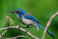 551180038 a wild western scrub jay aphelocoma coerulescens perches on a fir tree limb with bug prey in los angeles county california