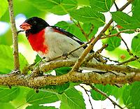 Adult male rose-breasted grosbeak in breeding plumage in mulberry tree